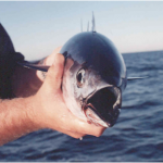 RI Blog Fish Teezer.png