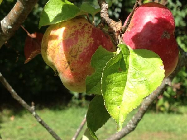 Apple Picking in Rhode Island