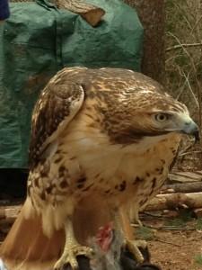 Falconry in Rhode Island