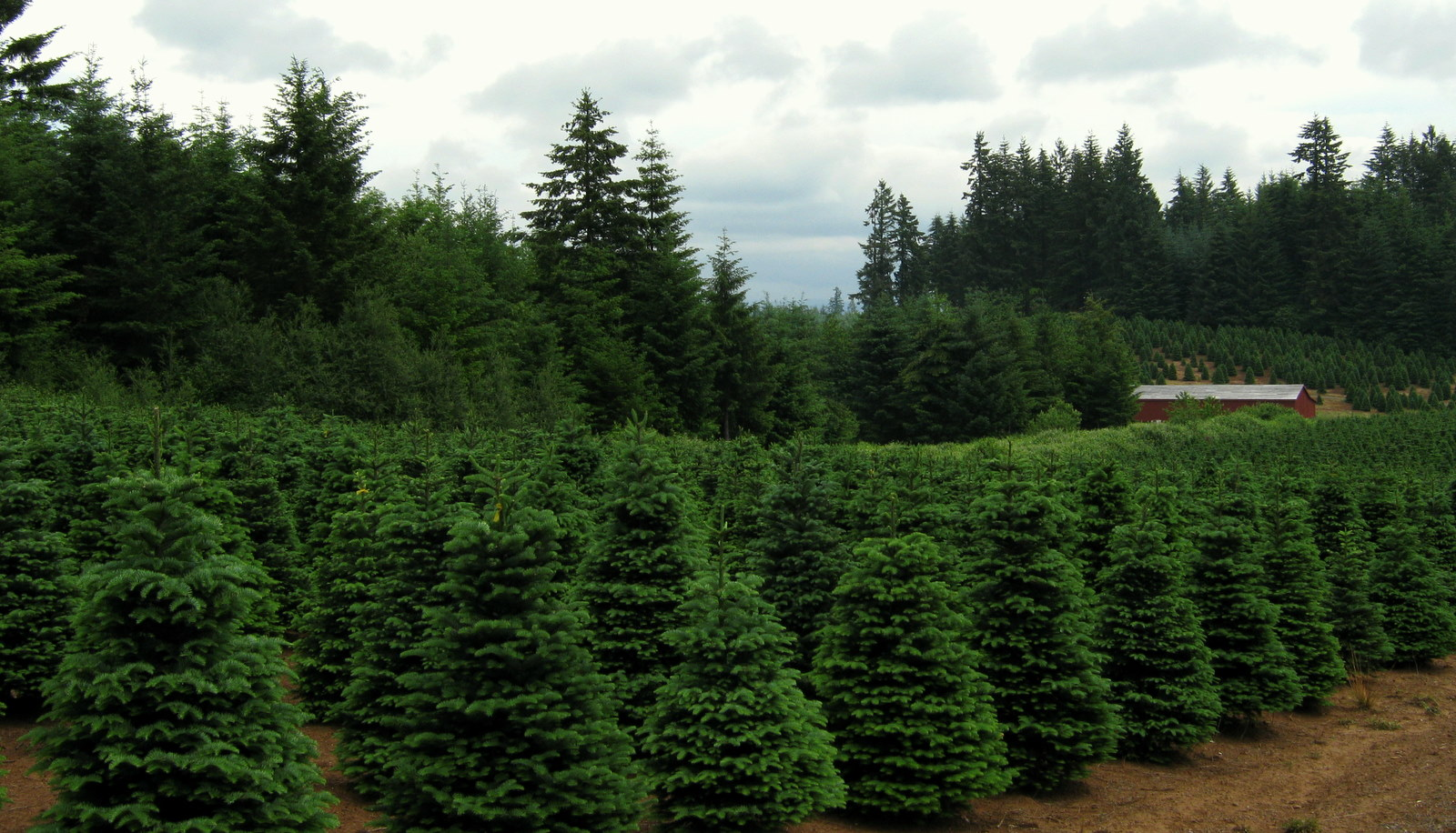 Where to get a Christmas Tree in Rhode Island
