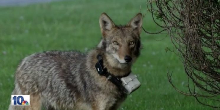 Save Cliff the Coyote from Being Euthanized!