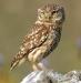 Audubon Owls and Ale
